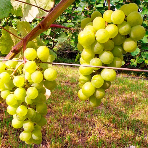 Vitis vinifera 'Jubileinaja Novgoroda' - Harilik viinapuu 'Jubileinaja Novgoroda'