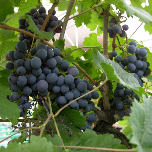 Vitis vinifera 'Rondo' - Harilik viinapuu 'Rondo'