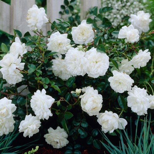 Rosa 'White Fairy' - Roos 'White Fairy'