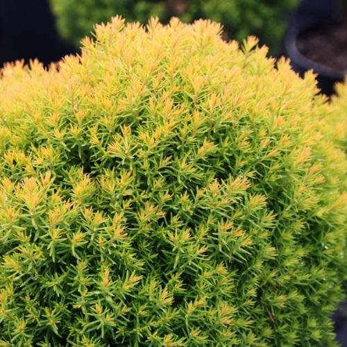 Thuja occidentalis 'Anniek' - Harilik elupuu 'Anniek'