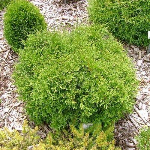 Thuja occidentalis 'Caespitosa' - Harilik elupuu 'Caespitosa'