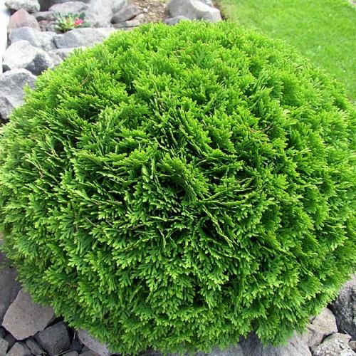 Thuja occidentalis 'Danica' - Harilik elupuu 'Danica'