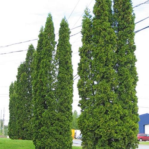 Thuja occidentalis 'Fastigiata' - Harilik elupuu 'Fastigiata'