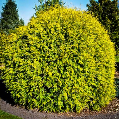 Thuja occidentalis 'Golden Globe' - Harilik elupuu 'Golden Globe'