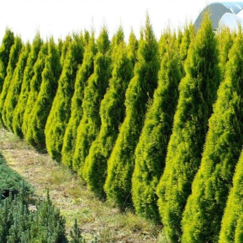 Thuja occidentalis 'Golden Smaragd' - Harilik elupuu 'Golden Smaragd'