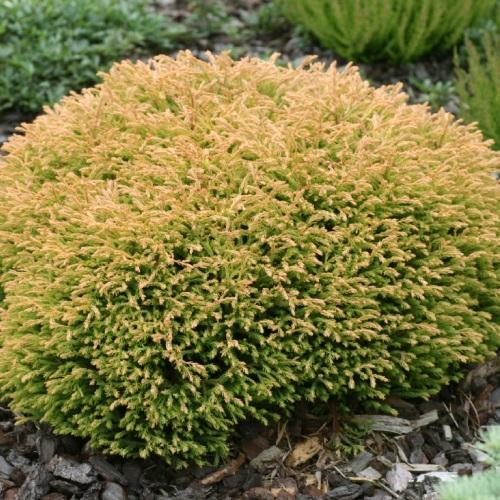 Thuja occidentalis 'Golden Tuffet' - Harilik elupuu 'Golden Tuffet'