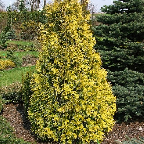 Thuja occidentalis 'Holmstrup Yellow' - Harilik elupuu 'Holmstrup Yellow'