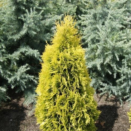 Thuja occidentalis 'Jantar' - Harilik elupuu 'Jantar'