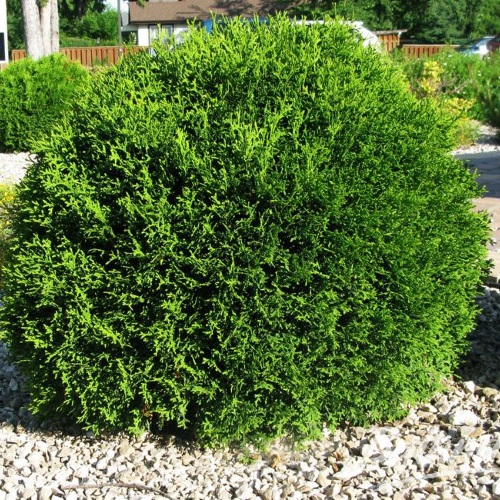 Thuja occidentalis 'Little Giant' - Harilik elupuu 'Little Giant'