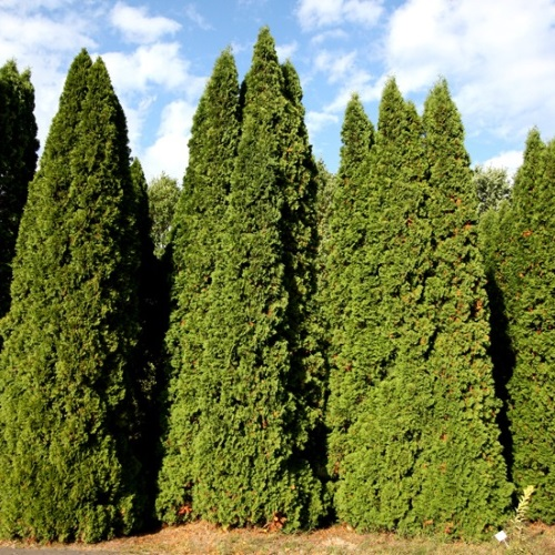 Thuja occidentalis 'Malonyana' - Harilik elupuu 'Malonyana'