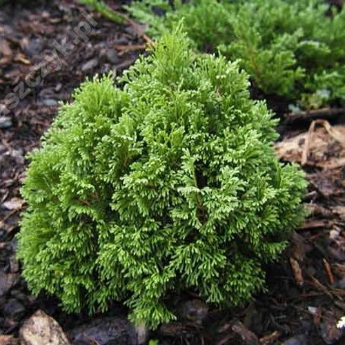 Thuja occidentalis 'Micky' - Harilik elupuu 'Micky'