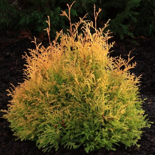 Thuja occidentalis 'Rheingold' - Harilik elupuu 'Rheingold'