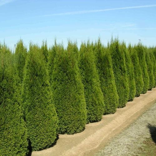 Thuja occidentalis 'Smaragd' - Harilik elupuu 'Smaragd'