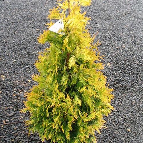 Thuja occidentalis 'Sunkist' - Harilik elupuu 'Sunkist'