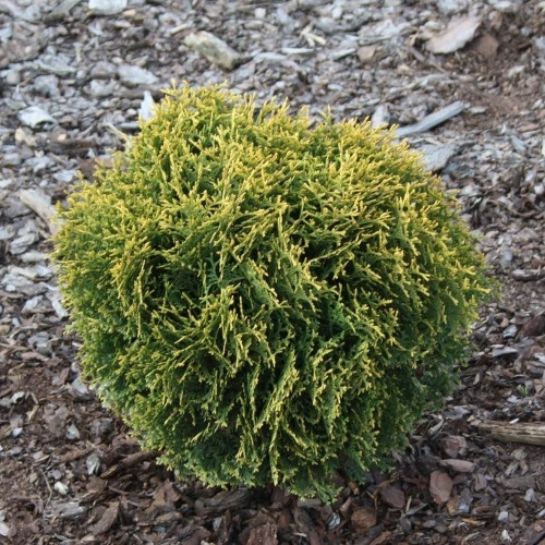 Thuja occidentalis 'Waterfield' - Harilik elupuu 'Waterfield'