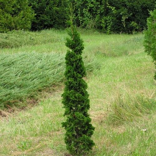Thuja occidentalis 'Zmatlik' - Harilik elupuu 'Zmatlik'
