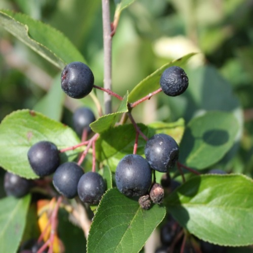 Aronia prunifolia 'Karhumäki' - Must aroonia 'Karhumäki'