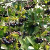 Aronia prunifolia 'Viking' - Must aroonia 'Viking'