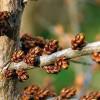 Hippophae rhamnoides - Harilik astelpaju - isastaim