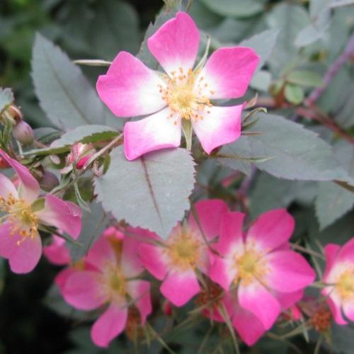 Rosa glauca - Punalehine kibuvits