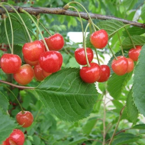 Prunus avium 'Madissoni Roosa' - Magus kirsipuu 'Madissoni Roosa'