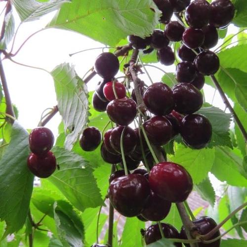 Prunus avium 'Meelika' - Magus kirsipuu 'Meelika'