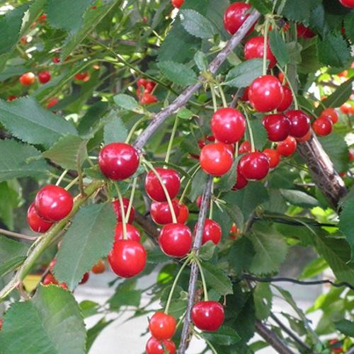 Prunus cerasus 'Huvimaja' - Hapu kirsipuu 'Huvimaja'