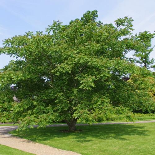 Juglans mandshurica - Mandžuuria pähklipuu