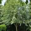 Sorbus aria 'Lutescens' - Valge pihlakas 'Lutescens'