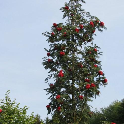 Sorbus aucuparia 'Fastigiata' - Harilik pihlakas 'Fastigiata'