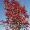 Sorbus aucuparia 'Joseph Rock' - Harilik pihlakas 'Joseph Rock'