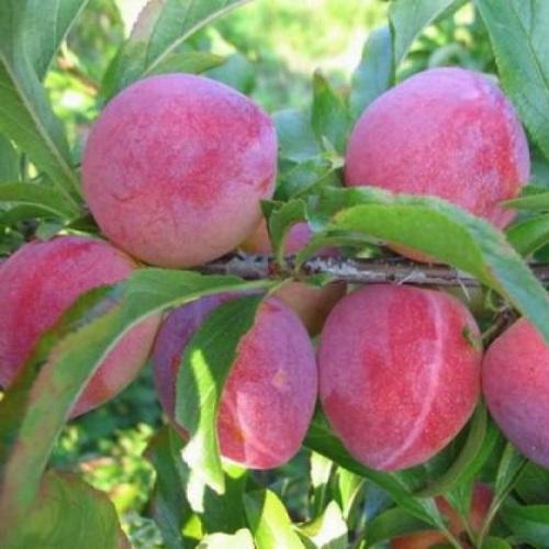 Prunus cerasifera 'Kometa' - Haraline ploomipuu 'Kometa'