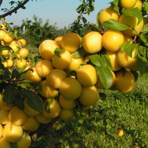 Prunus cerasifera 'Podarok St. Petersburg' - Haraline ploomipuu 'Podarok St. Petersburg'