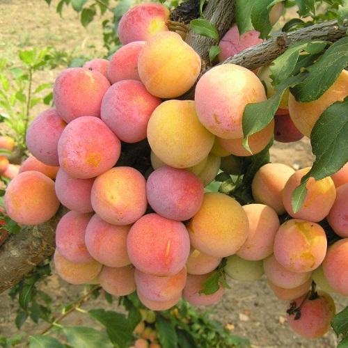 Prunus cerasifera 'Skoroplodnaja' - Haraline ploomipuu 'Skoroplodnaja'