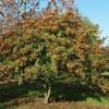 Crataegus submollis - Karvane viirpuu
