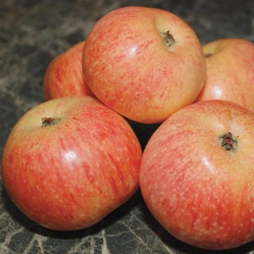 Malus domestica 'Konfetnoje' - Õunapuu 'Konfetnoje'