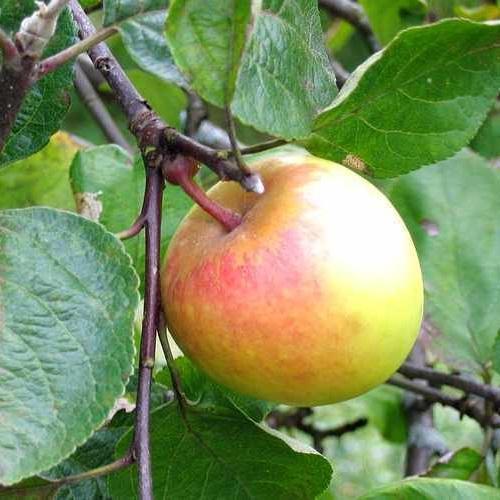Malus domestica 'Liivi Kuldrenett' - Õunapuu 'Liivi Kuldrenett'