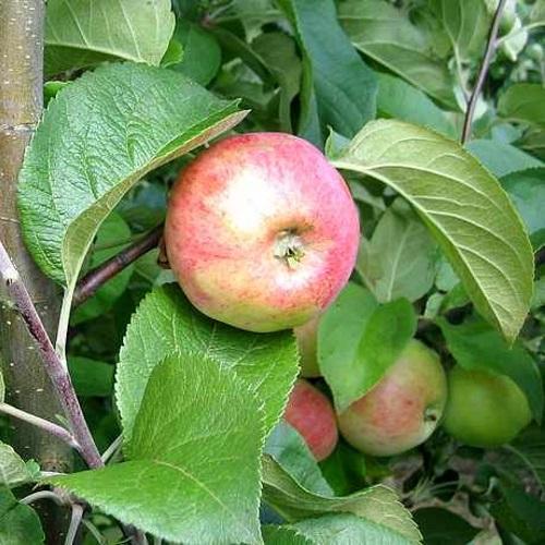 Malus domestica 'Martsipan' - Õunapuu 'Martsipan'