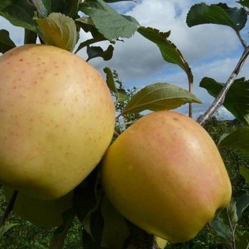 Malus domestica 'Merrigold' - Õunapuu 'Merrigold'